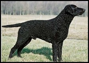 perro raza curly-coated-retriever