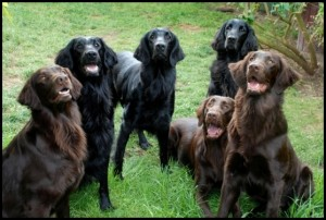 raza Flat-Coated Retrievers